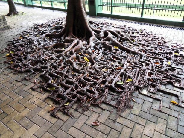 12. Rădăcini de copaci ce au acaparat trotuarul.