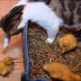 pisica-adopta-bobocii
