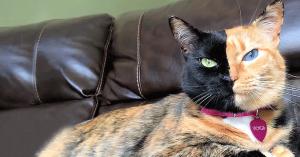 pisica-venus