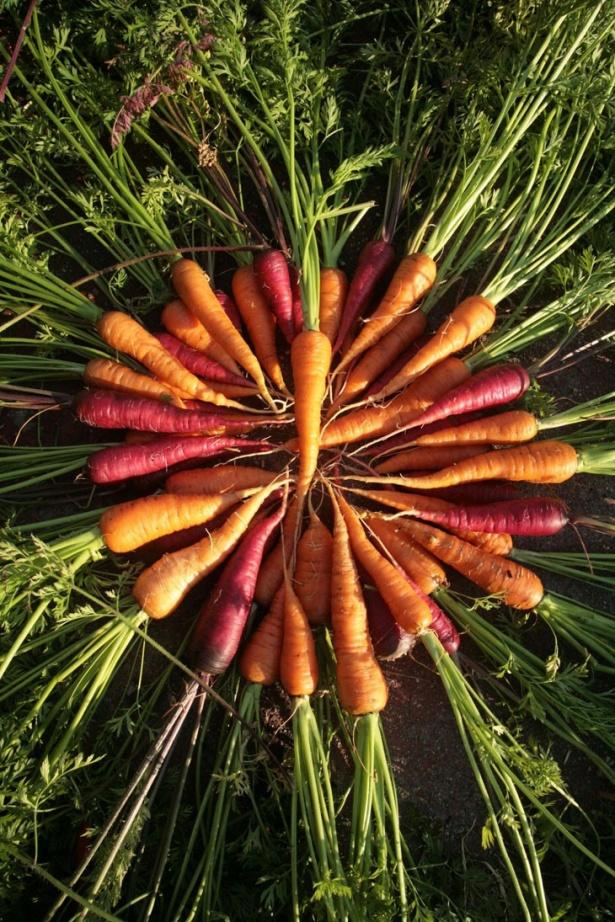 Iată şi o întreagă coroană de morcovi, proaspăt scoşi din pământ.