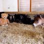 poneiul-si-ursuletul