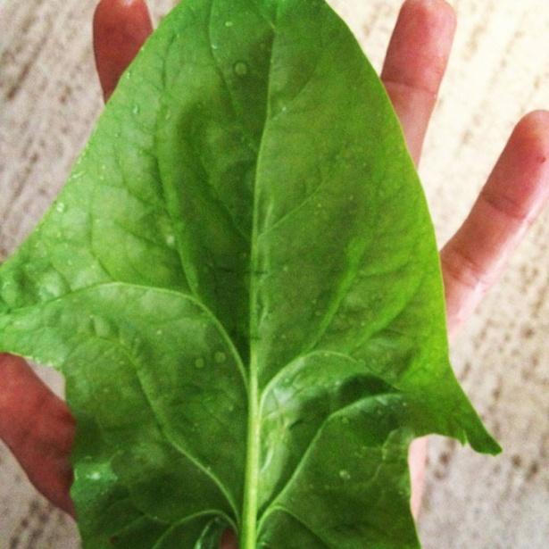 A urmat spanacul. Planta s-a dezvoltat armonios încât a ajuns să acopere palma.