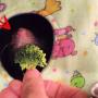 dexter-si-broccoli