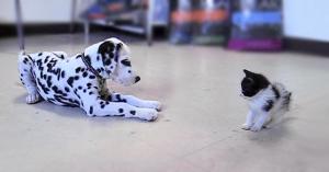 dalmatian-pisica