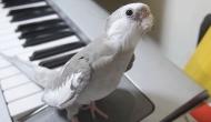 papagalulcantaret