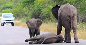 Puiul de elefant se prăbuşeşte în mijlocul drumului în timp ce şoferii privesc uimiţi reacţia familiei sale