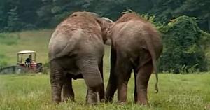 Aceste femele elefant au stat despărţite 22 de ani. Urmăriţi cu atenţie ce se întâmplă când se reîntâlnesc