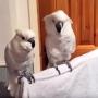 papagalul-fan-elvis