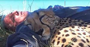Acest fotograf trage un pui de somn în sălbăticie - apoi un ghepard se apropie şi face cel mai ciudat lucru