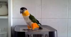 papagal-dans
