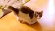 pisica-roux