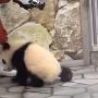 in-tarcul-ursilor-panda