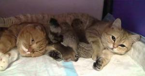 Ambele pisici urmau să aibă pui... Ce surprinde camera după venirea lor pe lume este adorabil