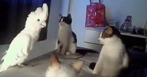 Nimeni nu i-a crezut când spuneau ce face papagalul cu cele 3 pisici. Apoi le-au arătat acest filmuleţ