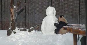 Îngrijitorii construiesc un om de zăpadă în adăpostul urşilor panda - însă nu anticipaseră că vor surprinde o asemenea reacţie
