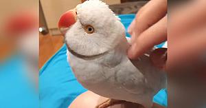 papagaluldragalas