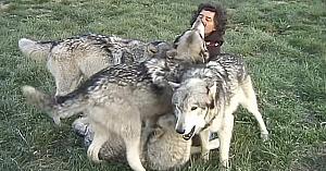 O haită de lupi se apropie de acest fotograf. Priviţi ce se întâmplă când el începe să-i mângâie...