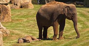 Mama elefant încearcă din greu să-şi trezească puiul somnoros, însă reacţia acestuia este de tot hazul