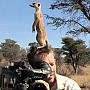 suricatele