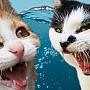pisicivsapa