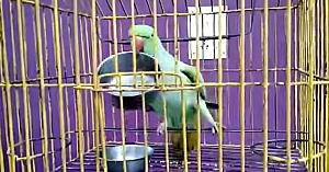 papagaldansator