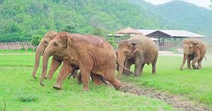 Elefanţii aleargă să salute noul pui orfan adus în adăpost