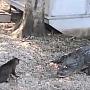 pisicavscrocodil
