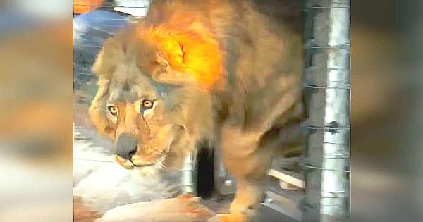 Acest leu a dormit întreaga viaţă pe o podea de ciment. Priviţi reacţia lui când vede iarba pentru prima dată