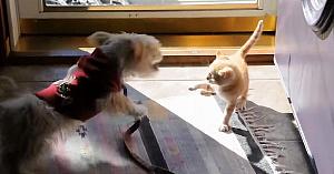 Căţeluşul se apropie de o pisică, dar nu durează mult până când regretă amarnic această decizie!