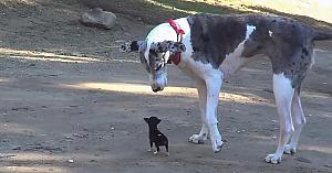 Ce se întâmplă  atunci când un câine foarte mic întâlneşte unul uriaş? Priviţi-i în acţiune!