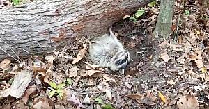 Acest raton rămăsese blocat sub un trunchi de copac. Priviţi ce se întâmplă câteva clipe mai târziu!