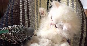 Mulţi nu i-au crezut când spuneau ce face peruşul cu pisica persană. Apoi le-au arătat acest filmuleţ...