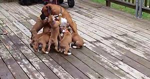 În absenţa mamei, mai mulţi căţeluşi dau navală peste tatăl lor. Un moment de o drăgălăşenie uimitoare!