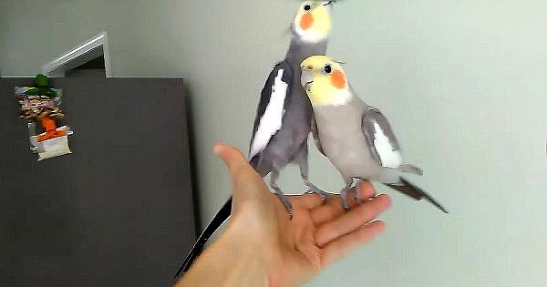 După ce se aşază confortabil pe mâna stăpânului, doi papagali dau startul unei reprezentaţii uimitoare!