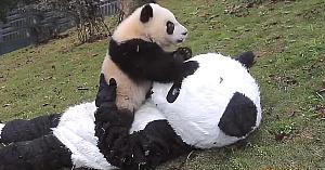 Ursuleţii panda au parte de o vizită mai puţin obişnuită. Reacţia lor este pur şi simplu adorabilă!