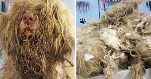 Un frizer deschide în miezul nopţii pentru ajuta urgent un câine: Priviţi ce se ascundea sub blana încâlcită 3 ore mai târziu!