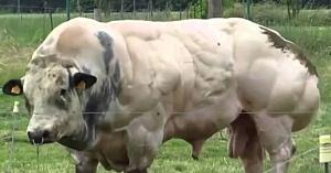 Acest taur este crescut pentru a da mai multă carne. Priviţi ce se întâmplă când încearcă să meargă