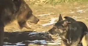 Acest urs uriaş se apropie de un Ciobănesc German. Priviţi ce se întâmplă câteva clipe mai târziu