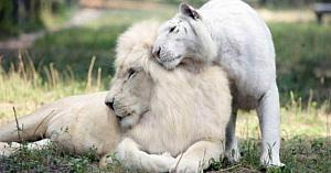 Un leu alb şi o tigroaică tocmai au devenit părinţi, iar puii lor sunt cele mai drăgălaşe minuni de pe Pământ