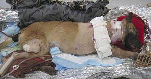 Acest câine a fost împuşcat de 4 ori salvând vieţile soldaţilor, dar a primit cel mai frumos cadou oferit vreodată