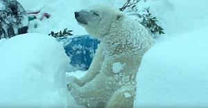 După ce zăpada a ţinut grădina zoo închisă, camerele surprind ursul polar având parte de distracţia vieţii lui