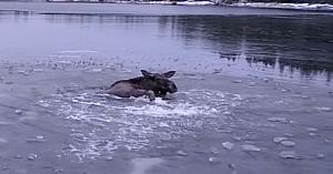 Se zbătea în lacul îngheţat, însă tocmai când credea că totul e pierdut, priviţi cine îşi face apariţia!