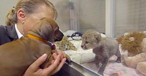 Îngrijitorii îi aduc un căţeluş puiului de ghepard abandonat - reacţia sa când îl întâlneşte face deliciul tuturor