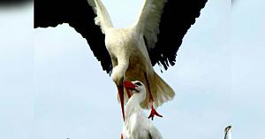Această barză rănită nu poate migra - Sufletul ei pereche zboară mii de kilometri în fiecare an doar pentru a o revedea