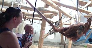 Urangutanul observă un copilaş prin geamul protector. Părinţii sunt uimiţi de reacţia surprinsă pe cameră