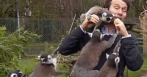 Cu aceşti lemuri în jurul său, reporterului BBC i-a fost imposibil să rămână serios. Motivul e de tot hazul