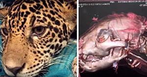 Localnicii găsiseră în junglă un pui de jaguar paralizat. Când medicii văd radiografiile, nu le vine să creadă