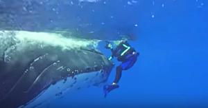Balena uriaşă o împinge brusc pe femeia-scafandru. Apoi realizează motivul surprinzător al mamiferului