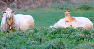 Era de aşteptat ca acest câine să păzească oile - însă metoda lui a cucerit internetul