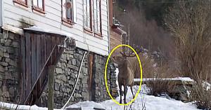 A văzut un cerb apropiindu-se de o casă, dar priviţi ce surprinde camera câteva clipe mai târziu